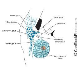 axillary, ノード, リンパ液
