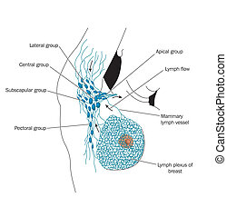 Axillary lymph nodes -- labeled