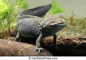 Axolotl, Ambystoma mexicanum, single captive animal in tank,...