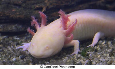 Axolotl, Mexican Salamander (Ambystoma Mexicanum) or Mexican Walking Fish, real time,