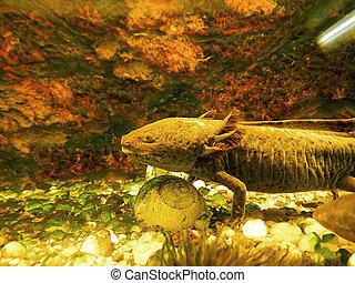 Axolotl underwater - Axolotl (Ambystoma mexicanum)