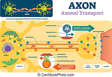Axon vector illustration. Labeled diagram with explanation...