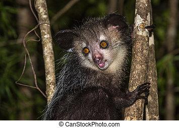 Aye-aye, nocturnal lemur of Madagascar