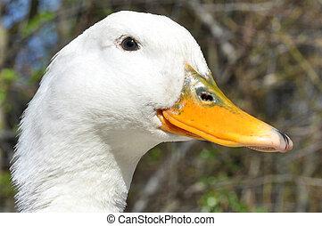 Aylesbury Duck