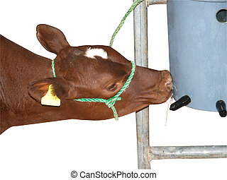 Ayrshire Calf Having a Feed isolated with clipping path...