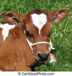 Ayrshire Calf - Ayrshire calf on green grass