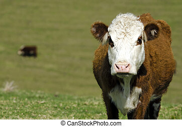 Ayrshire cattle - Portrait of Ayrshire cattle in a dairy...