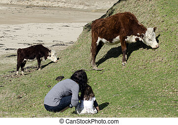 Ayrshire cattle - Mother and her daugther looks at Ayrshire...