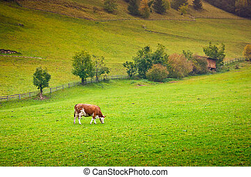 Ayrshire Cow - Ayrshire cow in a pasture in Valle Aurina,...