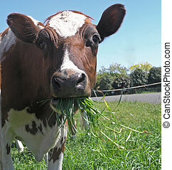 Ayrshire Cow Eating - An Ayrshire cow with a mouth full of...