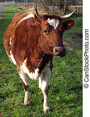 Ayrshire Cow with Horns looking towards the Camera