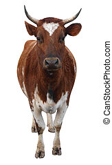 Ayrshire Cow with Horns isolated with clipping path