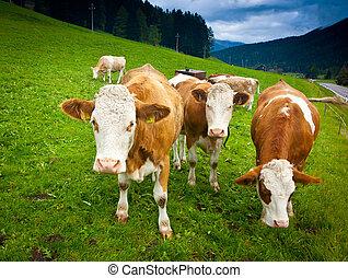 Ayrshire Cows - Ayrshire cows near Brunico, Trentino Alto...