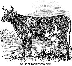Ayrshire or Cunningham, Cattle, vintage engraving. -...