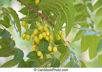 Azadirachta indica seeds hanging on tree, commonly known as...