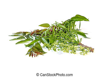 Azadirachta indica with flowers. - Azadirachta indica or...