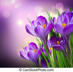 azafrán, flores del resorte