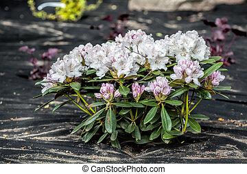 Azalea and barrier weed sheet - Barrier weed protects azalea...