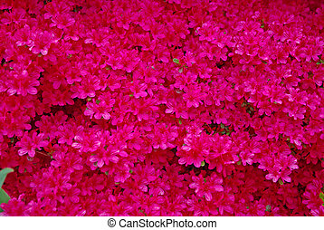 close up of red axalea for a floral background
