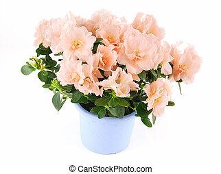 Beautiful azalea flower in a pot on a white background