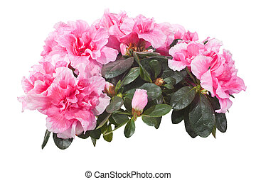 Beautiful potted plants of the genus Rhododendron