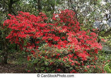 azalea, blomning, på, träd, (rhododendron, simsii, planch)