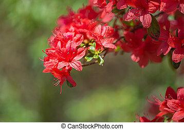 Azalea blossoms in spring