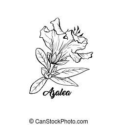 Azalea, ericaceae japonica flower ink pen sketch - Azalea, ...