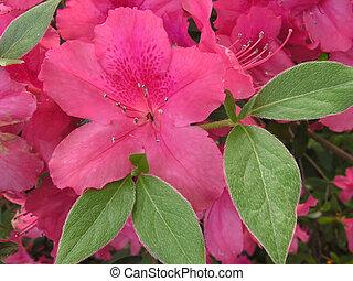 azalea, fiore