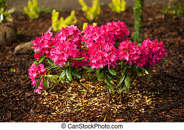 Azalea flowerbed