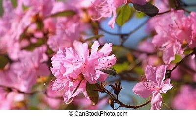 Azalea flowers blossom in the springtime