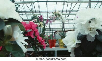 Azalea flowers in the greenhouse - Flowers an azalea on a...
