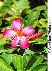 Azalea flowers.
