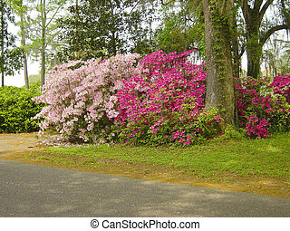 The azalea, which is abundant in southern United States blooms profusedly in the spring. Here ia a grand display in Southern Louisiana.