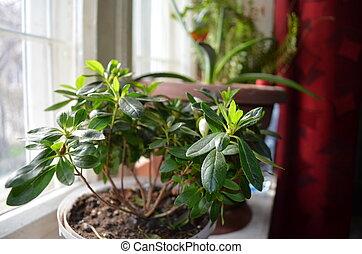 Azalea in a pot on the windowsill - Flowers Azaleas in pots...