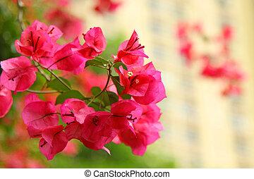Azalea in pink color