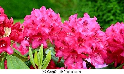 Azalea in the wind. - Red azalea bush at bright day .Azalea...