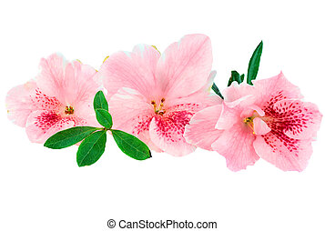 Macro of bright pink azalea blooms isolated on a white background. Clipping path included.