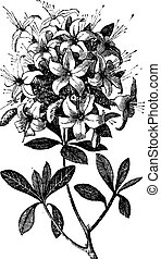 Azalea or Rhododendron sp, or azalea viscosa., vintage engraving. Old engraved illustration of an Azalea plant showing flowers.