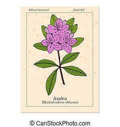 Azalea Rhododendron obtusum , ornamental and medicinal plant...