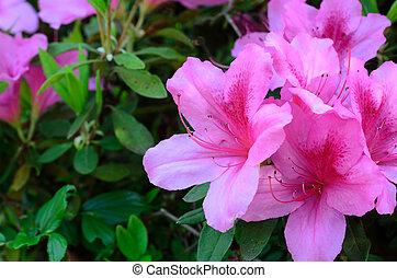 Azalea (Rhododendron pulchrum). Taken in the spring of Japan.