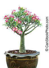 Azalea trees in pots isolated on white background