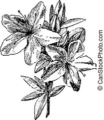 Azalea, vintage engraving. - Azalea, vintage engraved ...