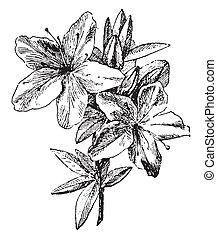 Azalea, vintage engraving. - Azalea, vintage engraved...