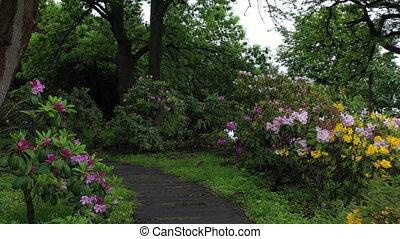 Azaleas, bushes of blooming flowers bloom in the botanical garden of Kiev.