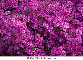 pink azalea flowers in bloom