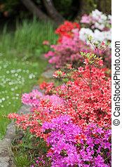 Spring garden with beautiful colorful azalea bushes