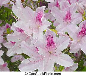 "The Beautiful ""Pride of Alabama"" in full Bloom"