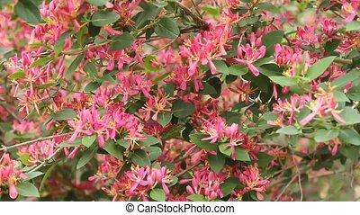azalia blossoms on a bush in a suburban yard