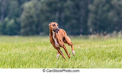 Azawakh running in the field on lure coursing competition